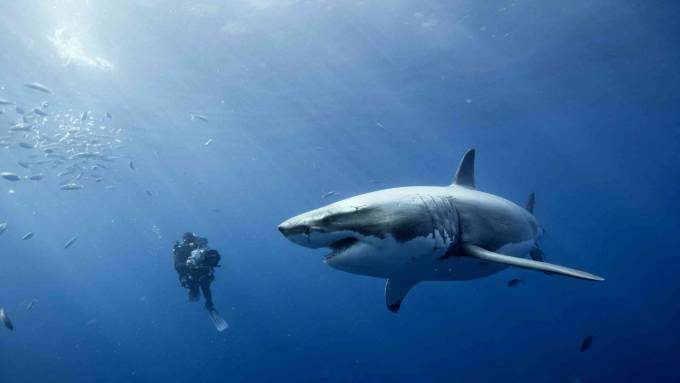 Important-Facts-About-Great-White-Sharks